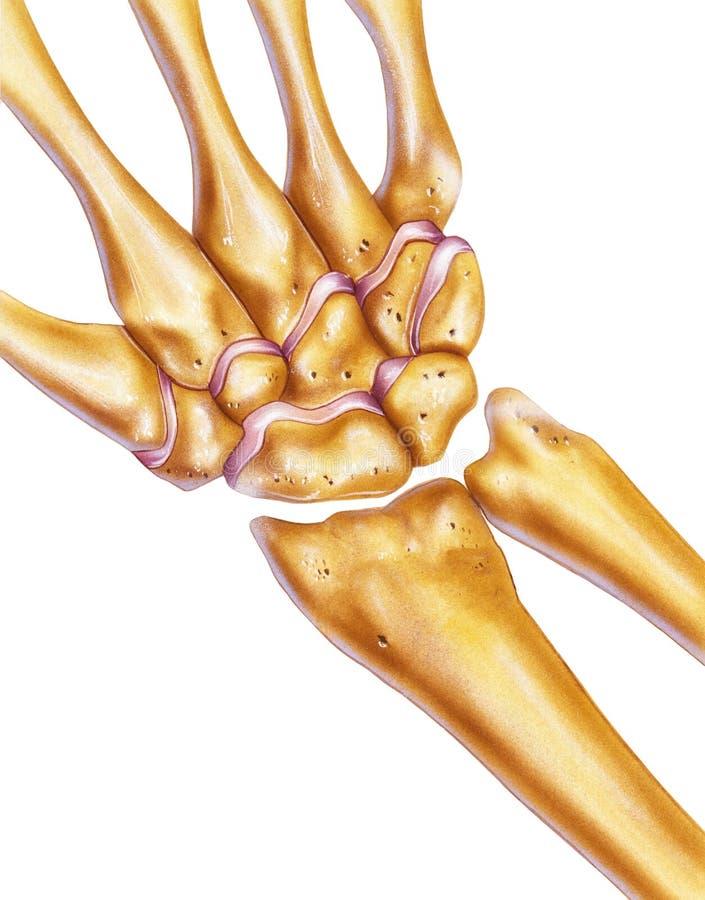 Χέρι και καρπός - κόκκαλα & ενώσεις στοκ φωτογραφία με δικαίωμα ελεύθερης χρήσης