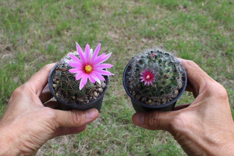 Χέρι - κρατημένος καλός κάκτος με το ρόδινο λουλούδι στο υπόβαθρο χλόης στοκ φωτογραφία με δικαίωμα ελεύθερης χρήσης
