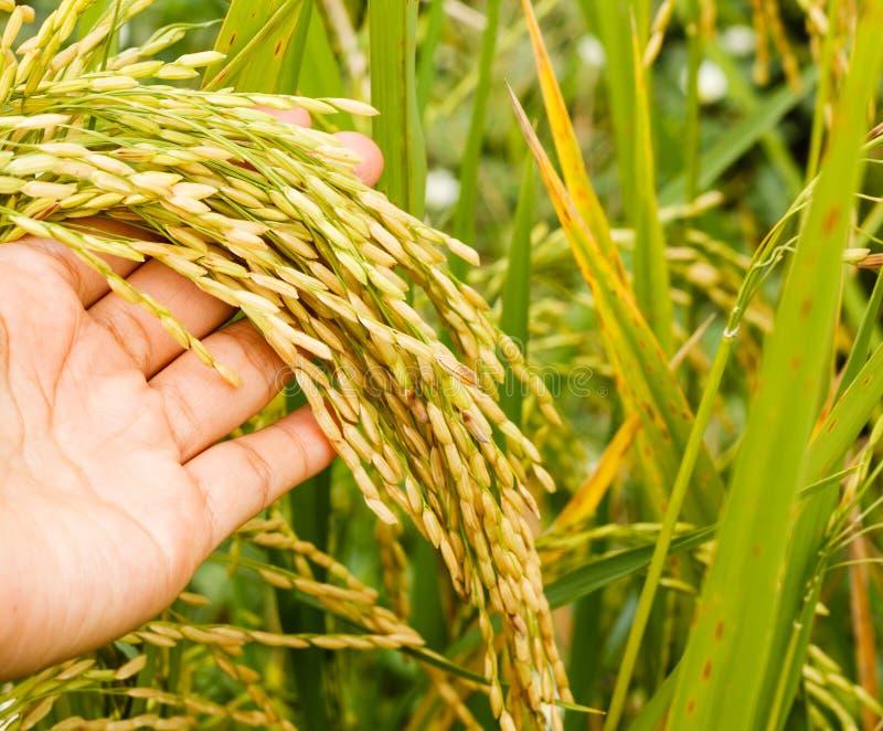 Χέρι με το πεδίο ρυζιού στοκ φωτογραφίες