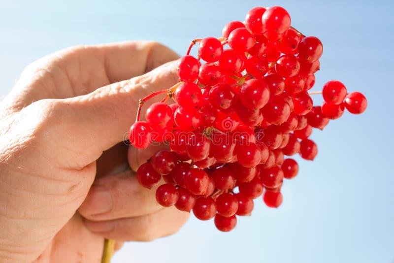 Download χέρι μούρων στοκ εικόνα. εικόνα από φυτό, δέρμα, ομάδα - 13182769