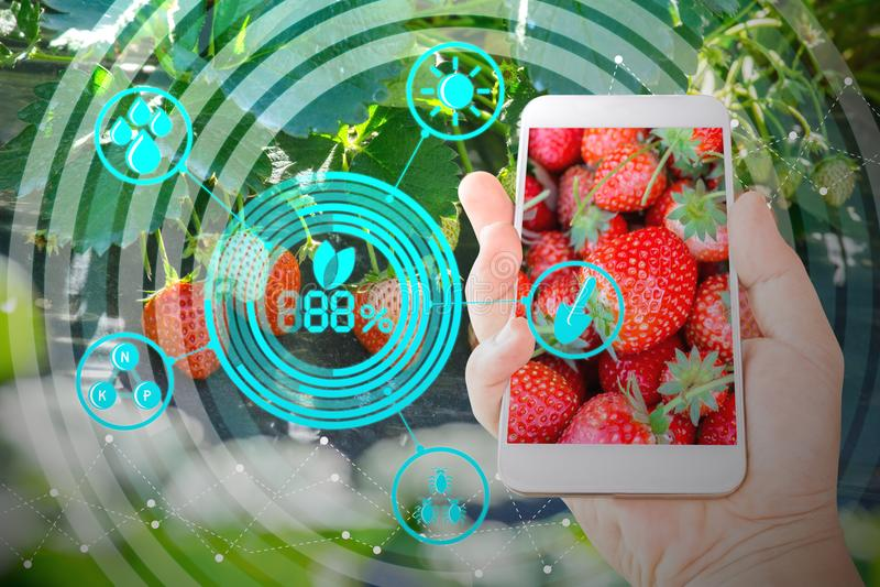 Χέρι που κρατά το κινητό τηλέφωνο που επιθεωρεί τις φρέσκες φράουλες στον κήπο γεωργίας με τις τεχνολογίες έννοιας στοκ φωτογραφίες