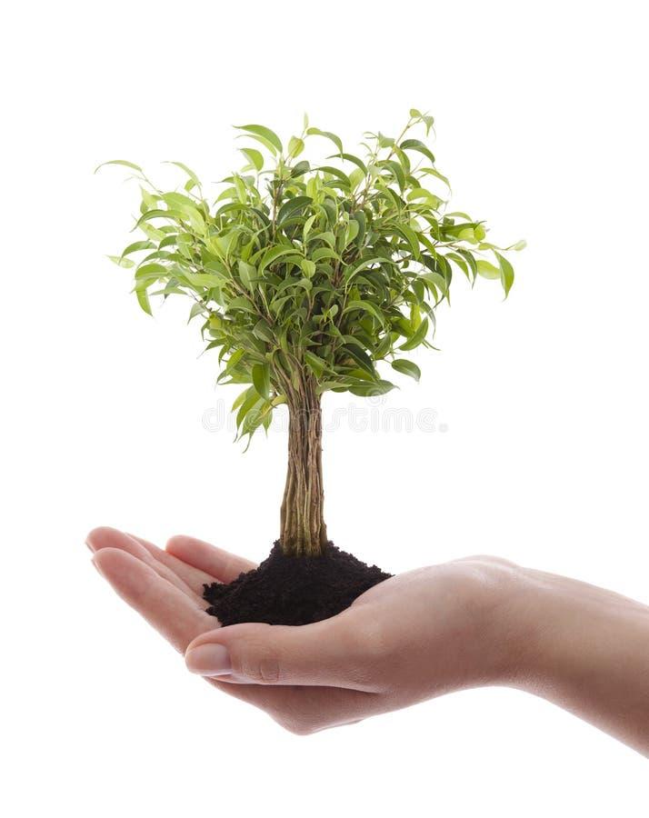 Χέρι που κρατά το πράσινο δέντρο στοκ φωτογραφίες με δικαίωμα ελεύθερης χρήσης