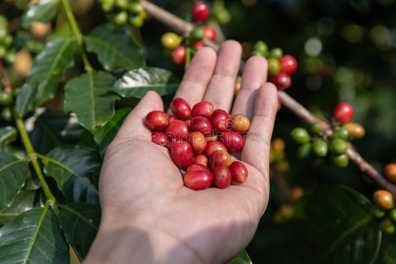 Χέρι που κρατά το ώριμο φασόλι καφέ, Arabica συγκομιδών εργαζομένων φασόλι καφέ από το δέντρο καφέ στοκ εικόνες