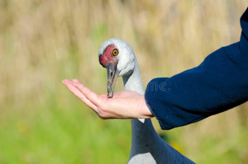 Χέρι που ταΐζει έναν γερανό Sandhill στοκ εικόνες με δικαίωμα ελεύθερης χρήσης