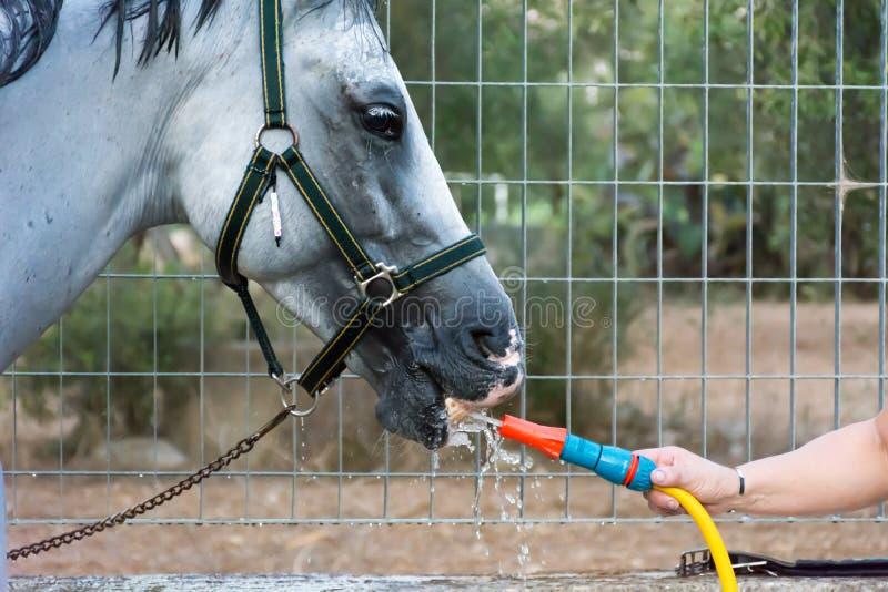 Χέρι Χρησιμοποιήστε ένα σωλήνα για να σβήσετε τη δίψα ενός αλόγου μετά την εκπαίδευση στοκ φωτογραφία