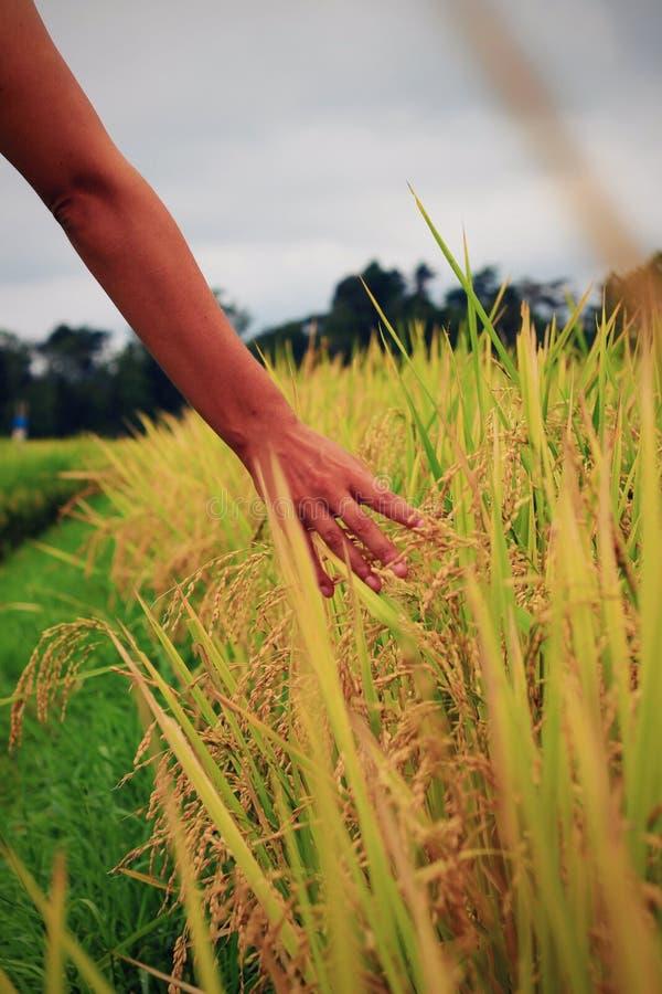 Χέρι Womanσχετικά με το ρύζι στον τομέα ρυζιού στοκ εικόνα
