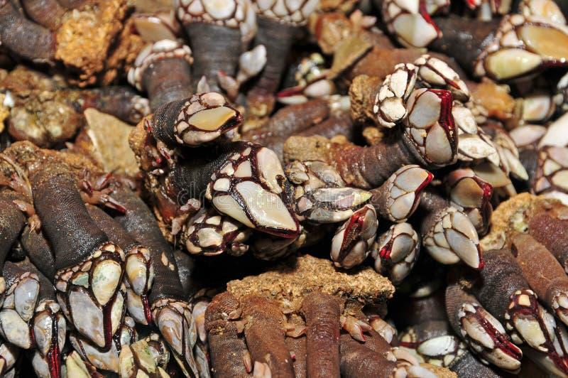 χήνα λαβίδων στοκ εικόνα με δικαίωμα ελεύθερης χρήσης