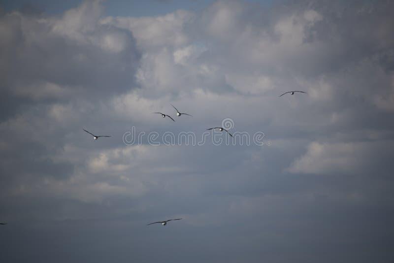 Χήνες που πετούν από πάνω στοκ φωτογραφία με δικαίωμα ελεύθερης χρήσης