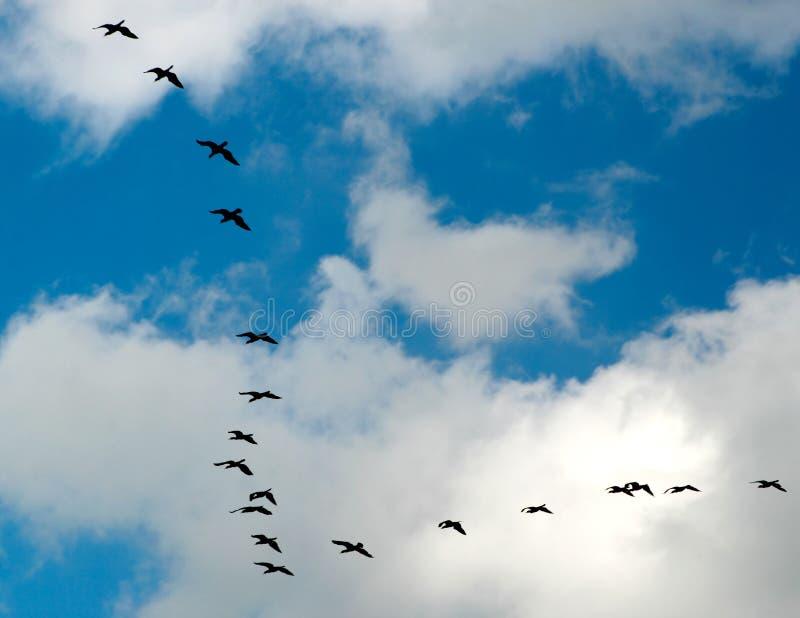 χήνες πτήσης στοκ εικόνες με δικαίωμα ελεύθερης χρήσης