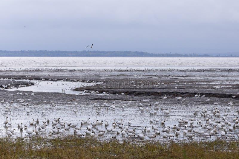 Χήνες χιονιού που ταΐζουν με την ακτή του ST Lawrence στοκ φωτογραφίες με δικαίωμα ελεύθερης χρήσης
