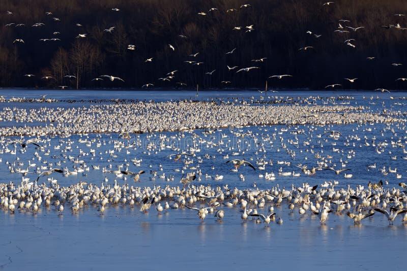 Χήνες χιονιού στη λίμνη στοκ εικόνα με δικαίωμα ελεύθερης χρήσης