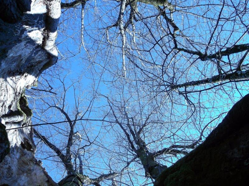 Χίλιος-έτος-παλαιό δέντρο ασβέστη στην Αυστρία στοκ εικόνες