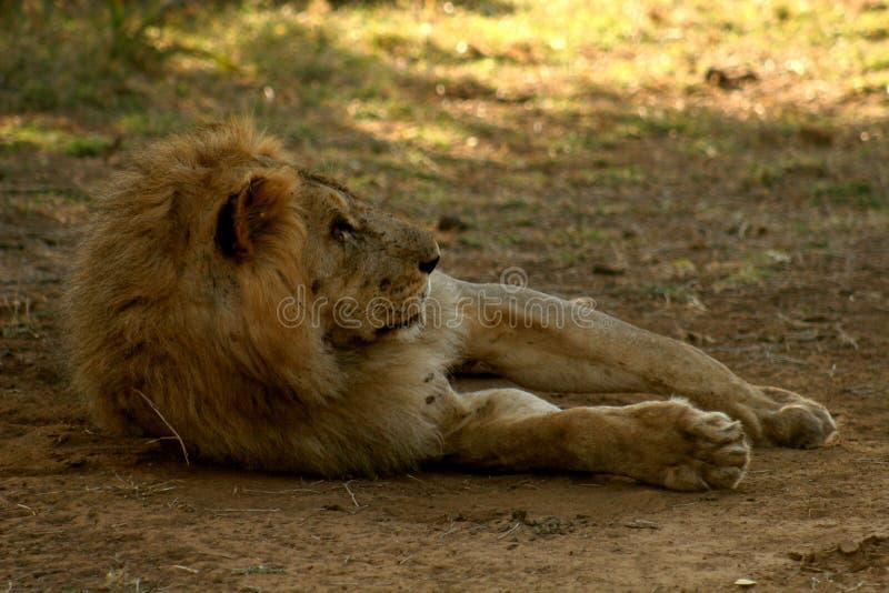 Χαλάρωση λιονταριών στη σκιά στοκ φωτογραφίες