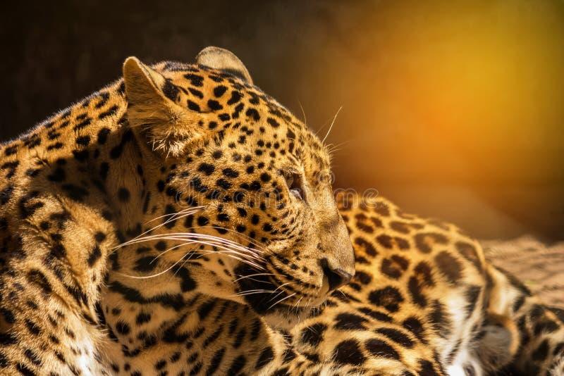 Χαλάρωση πάνθηρων λεοπαρδάλεων σε φυσικό στοκ εικόνες