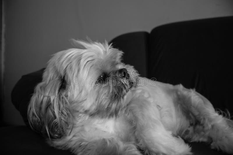 Χαλάρωση σκυλιών Tzu Shih στον καναπέ στοκ εικόνα με δικαίωμα ελεύθερης χρήσης