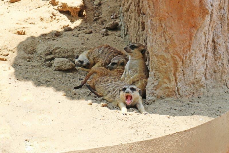 Χαλάρωση Meerkats στο έδαφος στοκ φωτογραφία με δικαίωμα ελεύθερης χρήσης
