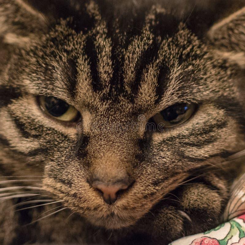 Χαλαρωμένη χαριτωμένη και ριγωτή γάτα αμέσως μετά από να ξυπνήσει στοκ φωτογραφίες
