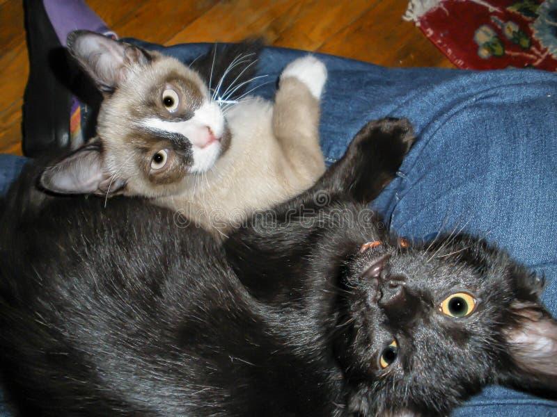 Χαλαρώνοντας αδελφοί γατακιών στοκ εικόνες