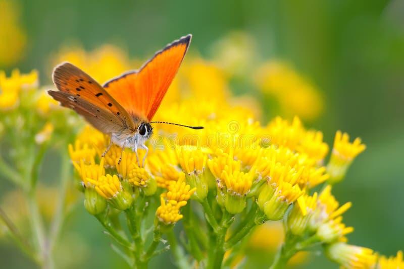χαλκός πεταλούδων λιγο& στοκ εικόνες