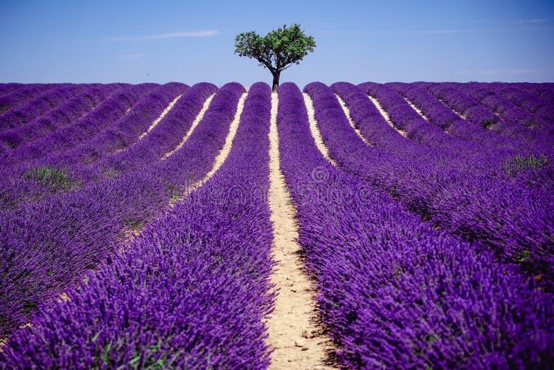 Χαμένος Lavender στον τομέα - Valensole, Γαλλία - τόσο ιώδης! στοκ φωτογραφία με δικαίωμα ελεύθερης χρήσης