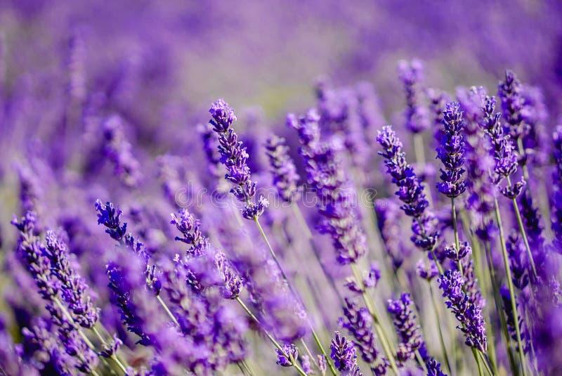 Χαμένος Lavender στον τομέα - Valensole, Γαλλία - τόσο ιώδης! στοκ εικόνα