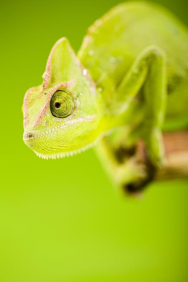 χαμαιλέοντας πράσινος στοκ εικόνα με δικαίωμα ελεύθερης χρήσης