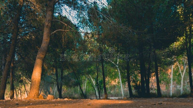 Χαμηλή άποψη γωνίας του δάσους δέντρων πεύκων στον ελαφρύ χρόνο ηλιοβασιλέματος στοκ εικόνα