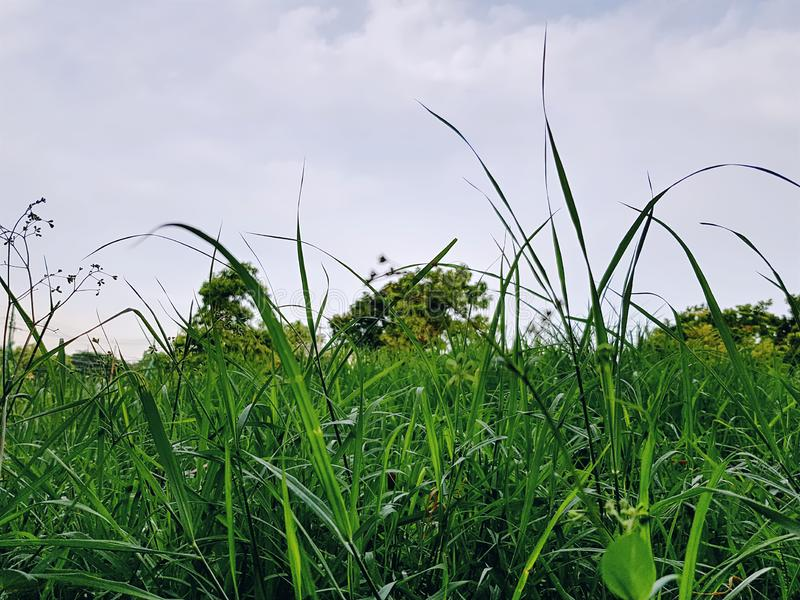 Χαμηλή άποψη γωνίας του πράσινου τομέα χλόης στοκ εικόνα