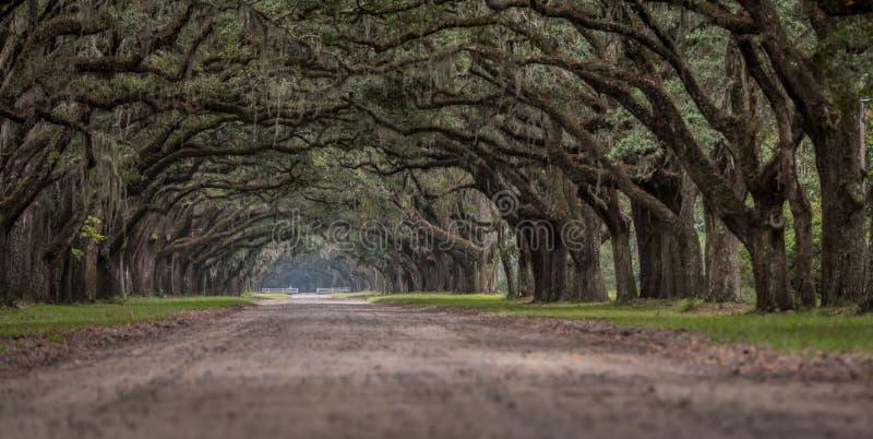 Χαμηλή άποψη γωνίας των ζωντανών δρύινων δέντρων στοκ εικόνες