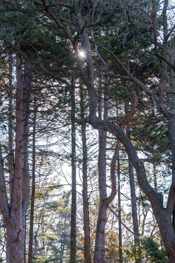 Χαμηλή φωτογραφία γωνίας των ψηλών δέντρων με τη φλόγα ήλιων, πλεονεκτική θέση, στοκ εικόνες