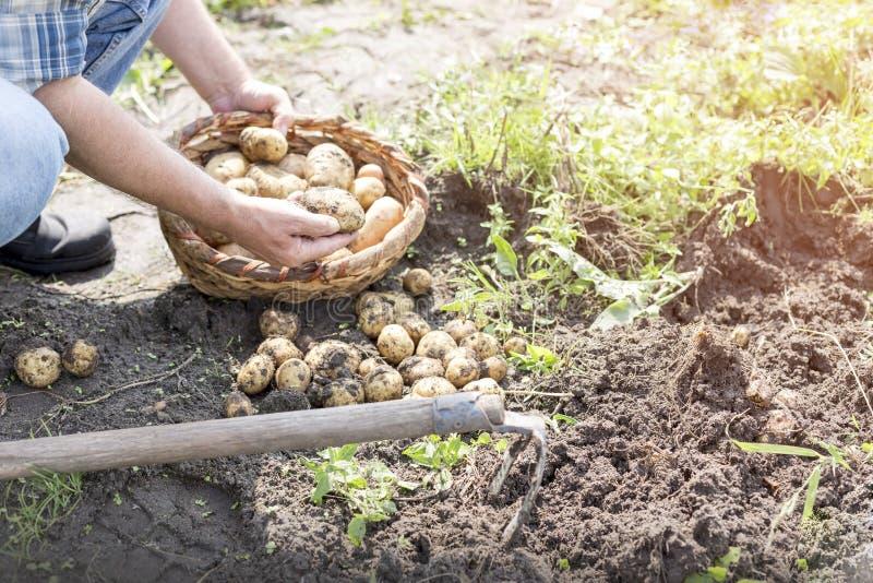 Χαμηλό τμήμα των πατατών συγκομιδής αγροτών στο αγρόκτημα στοκ εικόνα