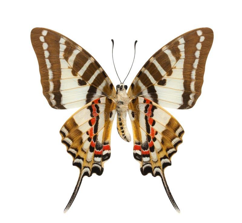 Χαμηλότερο σχεδιάγραμμα φτερών πεταλούδων που απομονώνεται πέρα από το άσπρο υπόβαθρο στοκ εικόνες