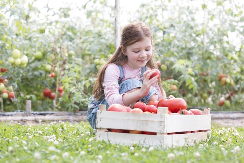 Χαμογελώντας κορίτσι που εξετάζει τις φρέσκες οργανικές ντομάτες στο κλουβί στο αγρόκτημα στοκ εικόνα με δικαίωμα ελεύθερης χρήσης