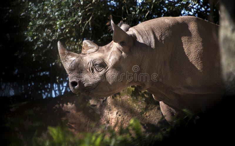 Χαμογελώντας μαύρος ρινόκερος στοκ φωτογραφίες