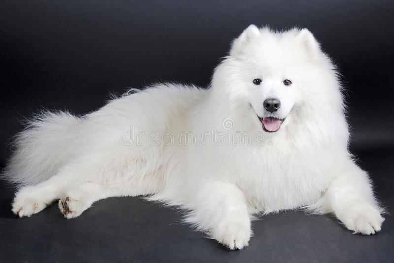 Χαμογελώντας σκυλί Samoyed στοκ φωτογραφία με δικαίωμα ελεύθερης χρήσης
