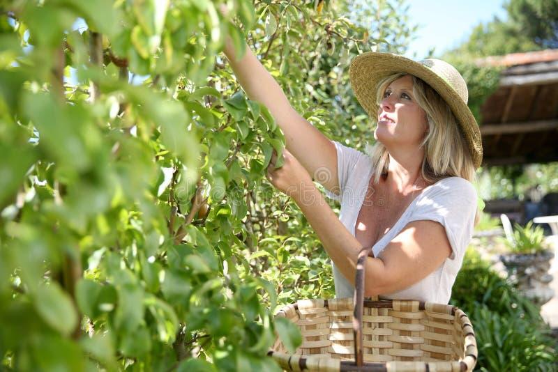 Χαμογελώντας ώριμη γυναίκα που συλλέγει τα φρούτα στοκ εικόνες