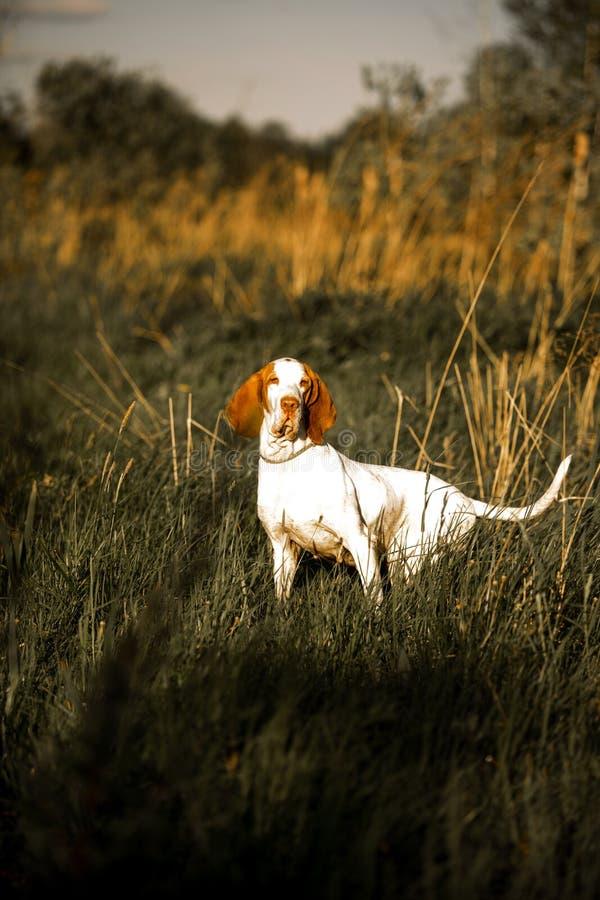 χαμόγελο του σκυλιού κυνηγόσκυλων μπασέ standingin στη χλόη Πράσινη ανασκόπηση στοκ φωτογραφίες
