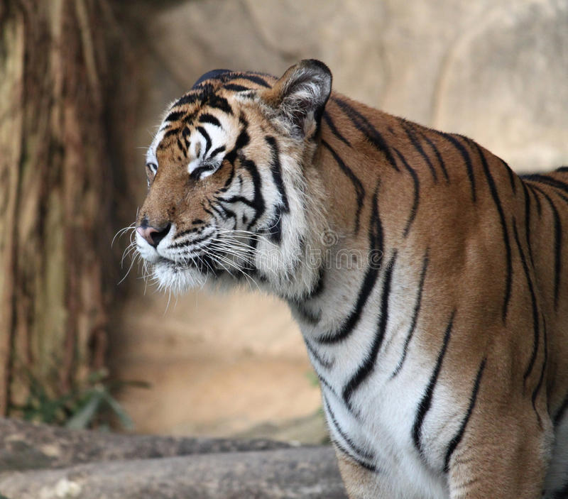 Χαμόγελο τιγρών στοκ εικόνα με δικαίωμα ελεύθερης χρήσης