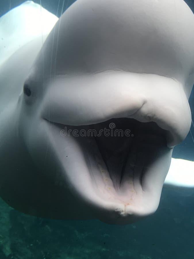 Χαμόγελο Beluga μωρών στοκ εικόνες