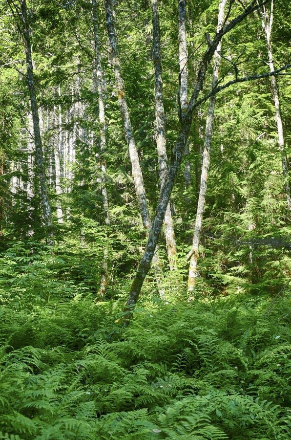 Χαμόκλαδο φτερών στο μικτό δάσος κωνοφόρων και σκληρού ξύλου στοκ εικόνες