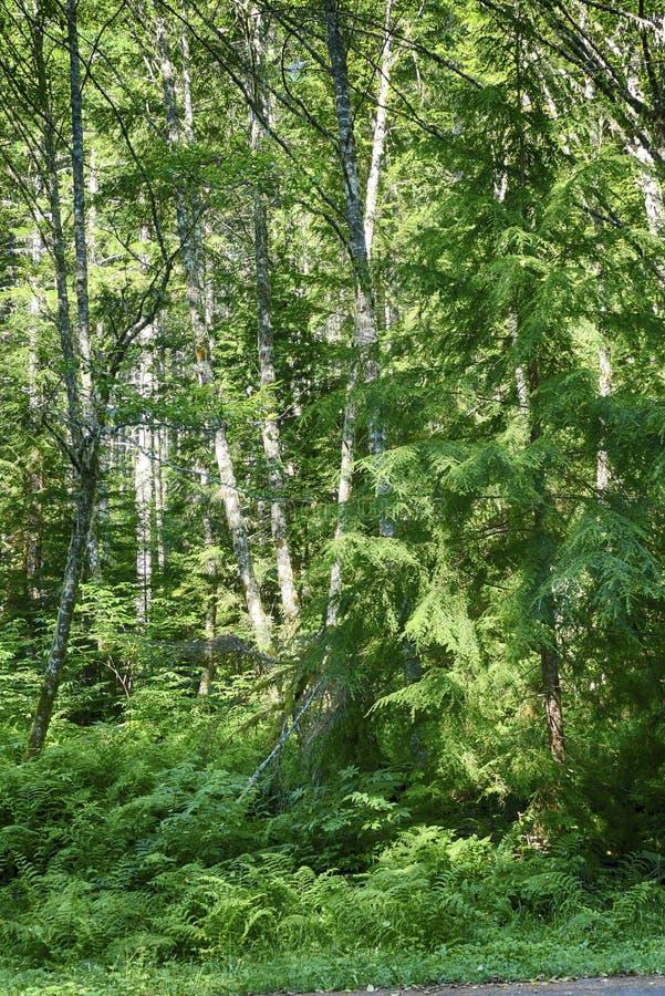 Χαμόκλαδο φτερών στο μικτό δάσος κωνοφόρων και σκληρού ξύλου στοκ φωτογραφία με δικαίωμα ελεύθερης χρήσης