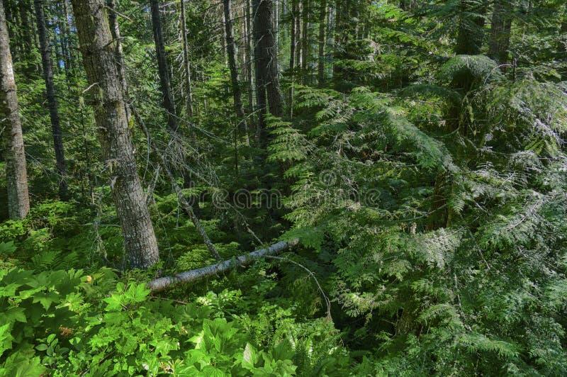 Χαμόκλαδο φτερών στο μικτό δάσος κωνοφόρων και σκληρού ξύλου στοκ φωτογραφίες με δικαίωμα ελεύθερης χρήσης