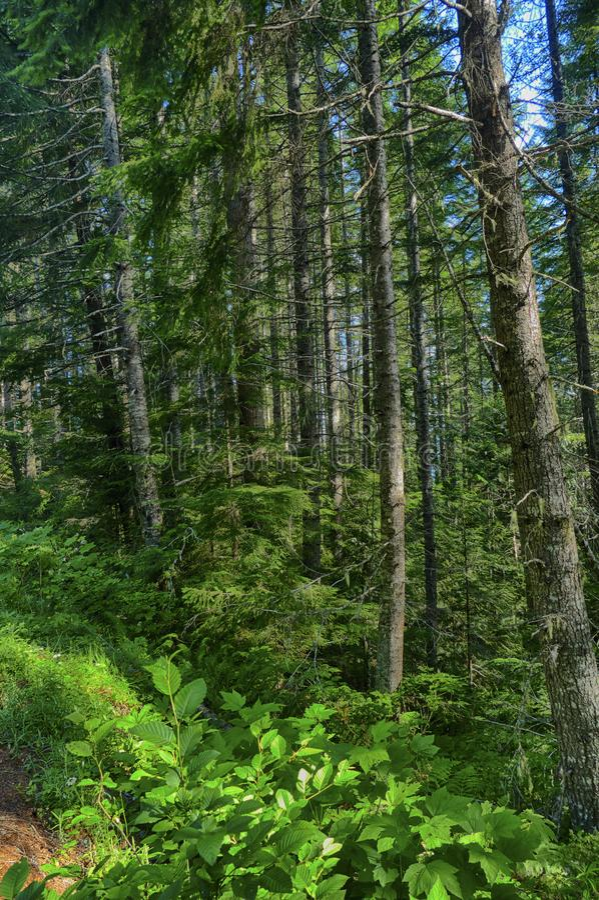 Χαμόκλαδο φτερών στο μικτό δάσος κωνοφόρων και σκληρού ξύλου στοκ εικόνες με δικαίωμα ελεύθερης χρήσης