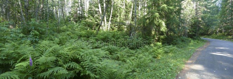 Χαμόκλαδο φτερών στο μικτό δάσος κωνοφόρων και σκληρού ξύλου στοκ φωτογραφίες