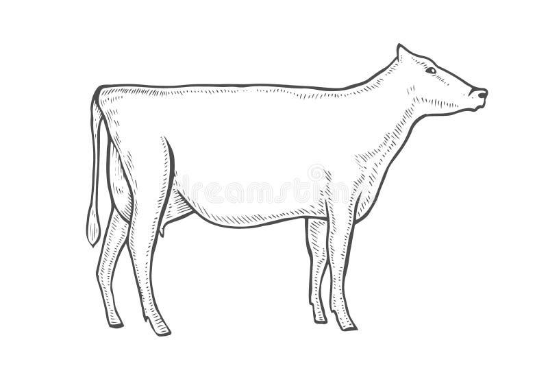 Χαράξτε τη διανυσματική αγελάδα διανυσματική απεικόνιση