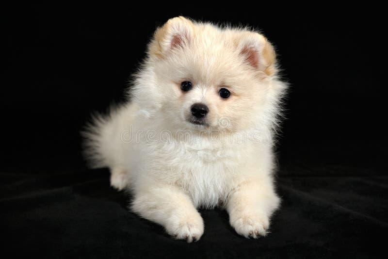 Χαρά της ημέρας - γερμανικό Spitz Pomeranian κουτάβι στοκ εικόνες