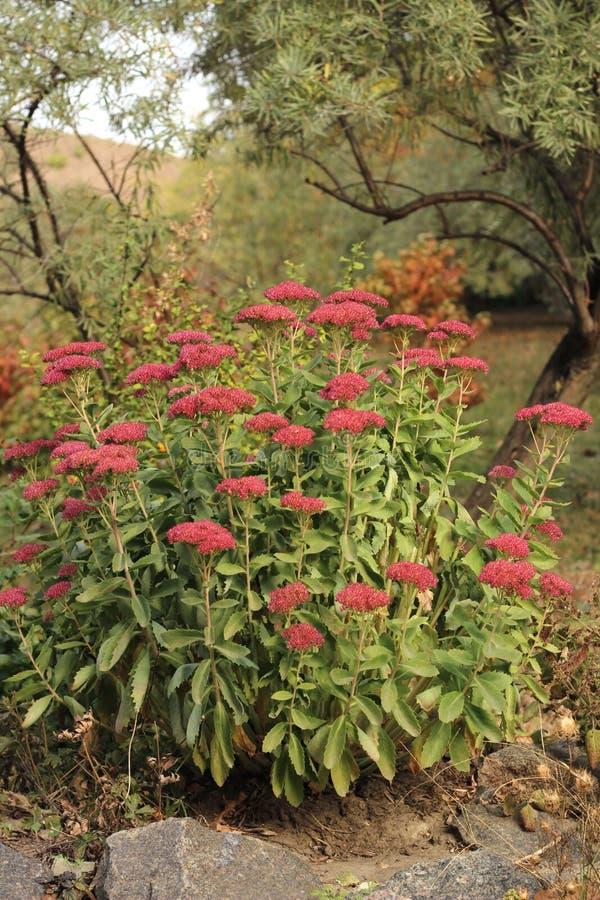 Χαρά φθινοπώρου άνθισης κόκκινη Sedum στον κήπο στοκ εικόνες
