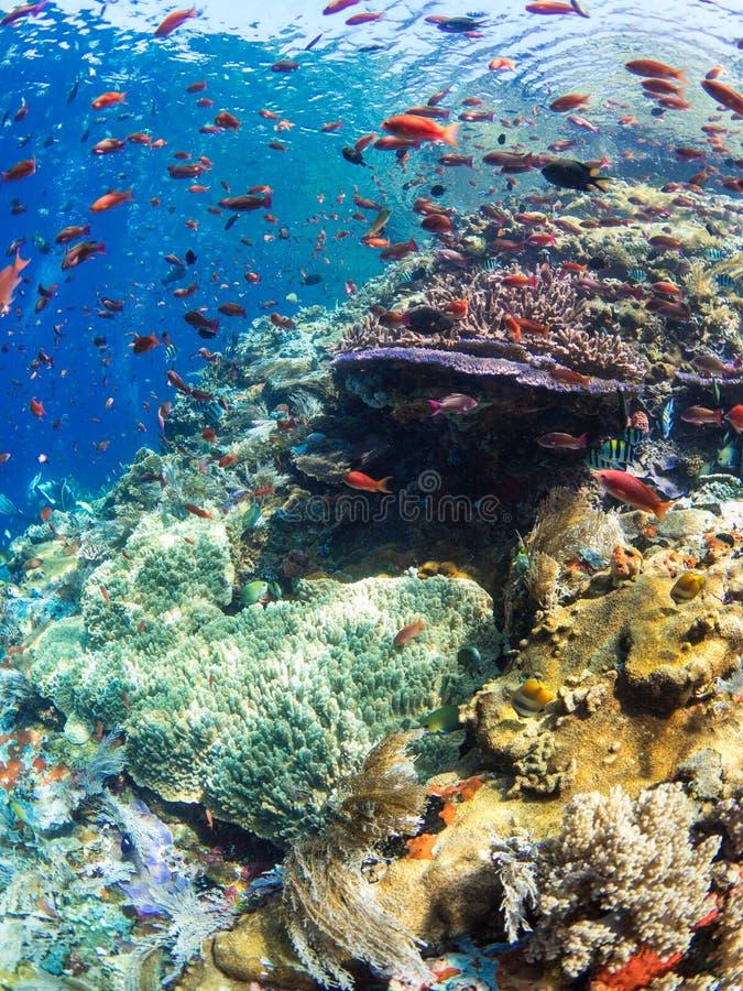 Χαρακτηριστική κοραλλιογενής ύφαλος στο εθνικό πάρκο Komodo στοκ εικόνα