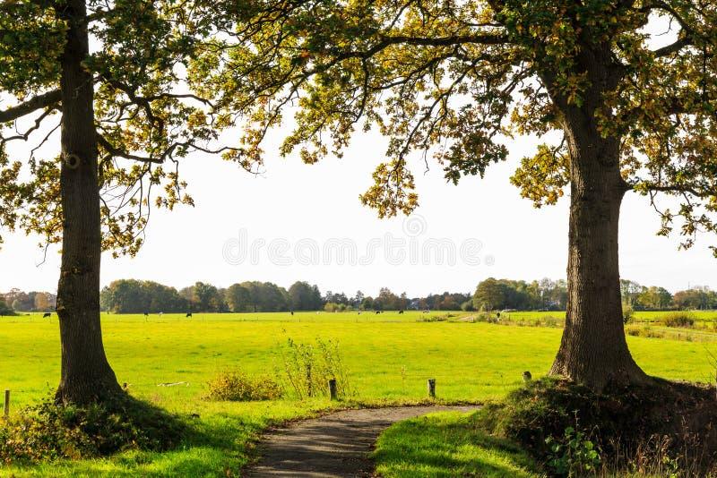 Χαρακτηριστικό ολλανδικό τοπίο του λιβαδιού με τις αγελάδες στοκ εικόνα