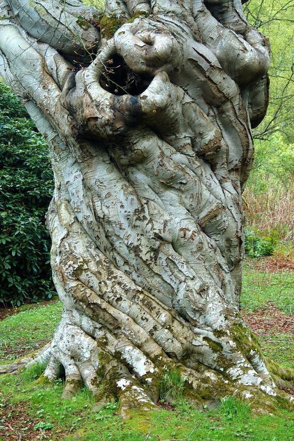 χαρασμένο παλαιό δέντρο στοκ εικόνα με δικαίωμα ελεύθερης χρήσης